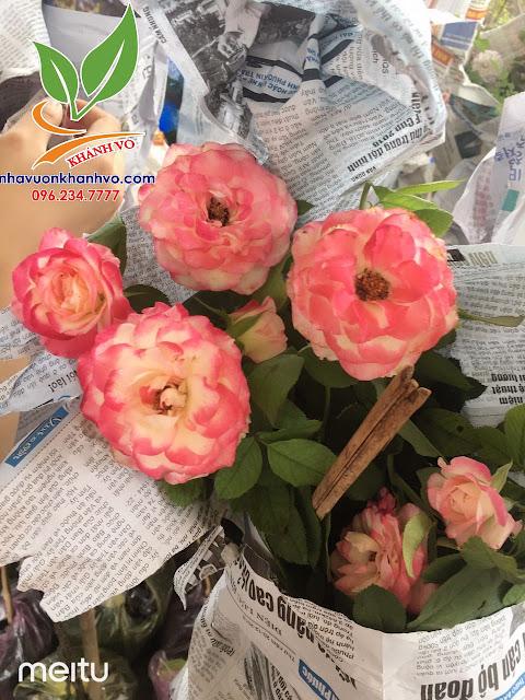 Cây hoa hồng cổ - tree rose - cực sai hoa - đẹp nghệ thuật 93529c0f6fed8db3d4fc_result