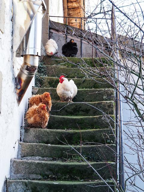 Bantams op trap