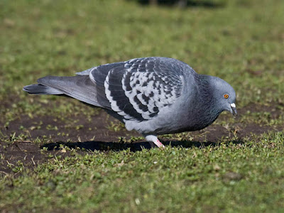 Photo of Rock Pigeon on the grass