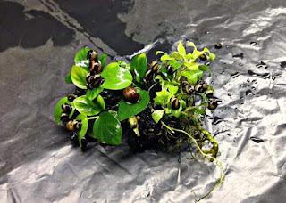 Algae Eater untuk Aquascape Keong Tanduk
