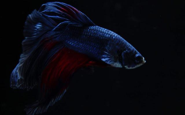 Peces Betta Azul oscuro