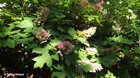 Oakleaf hydrangea - Anne's garden, Stratford, CT
