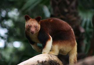 Lowland Tree Kangaroo Papua Endemic Species