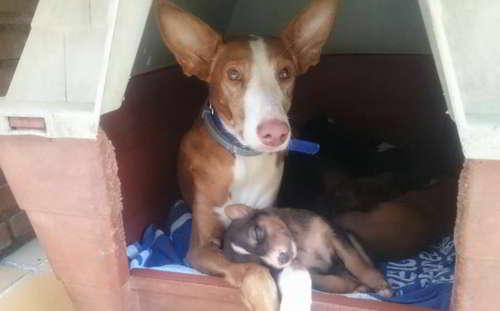 cachorros podenco 5