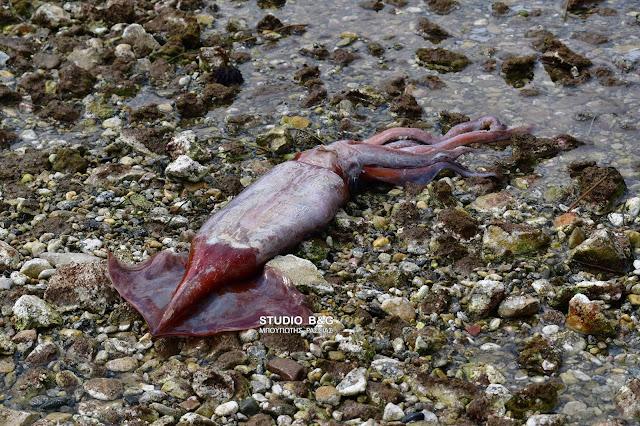 Ναύπλιο: Τεράστιο καλαμάρι ξεβράστηκε σε παραλία (βίντεο)