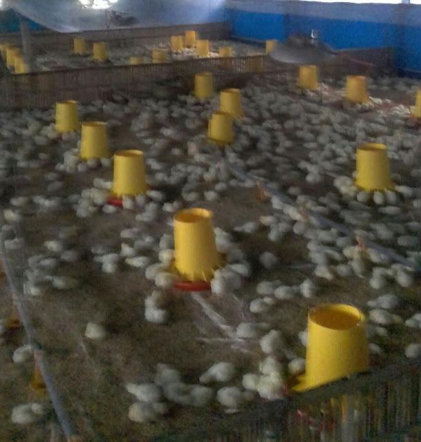SOC HCS untuk Ayam Potong