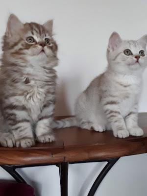 chaton, british, adoption, silver tabby