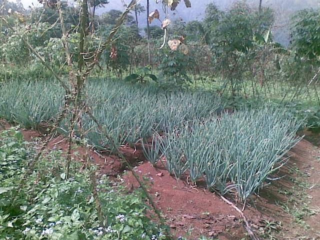 Foto(5084) Jual Tanah | Tanah Di jual, luas 4,25 ha kebun jual tanah di puncak