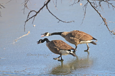 "In this picture a pair of Canadian geese are walking on the lake in Central Park which was frozen at the time I took the photo. This bird type is featured in volume two of my book series, ""Words In Our Beak."" Info re these books is within another post on this blog @ https://www.thelastleafgardener.com/2018/10/one-sheet-book-series-info.html"