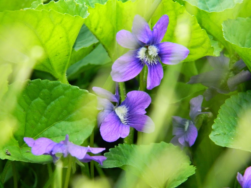 Purple violets violas by garden muses-not another Toronto gardening blog