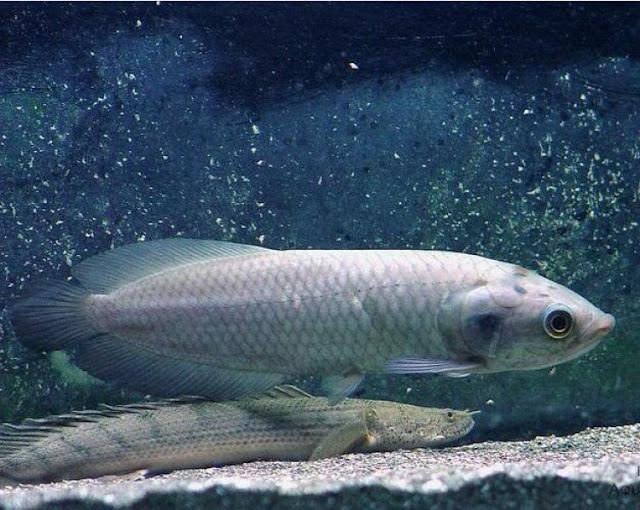 Dunia Ikan Hias - ARWANA AFRIKA (AFRICAN ARWANA)