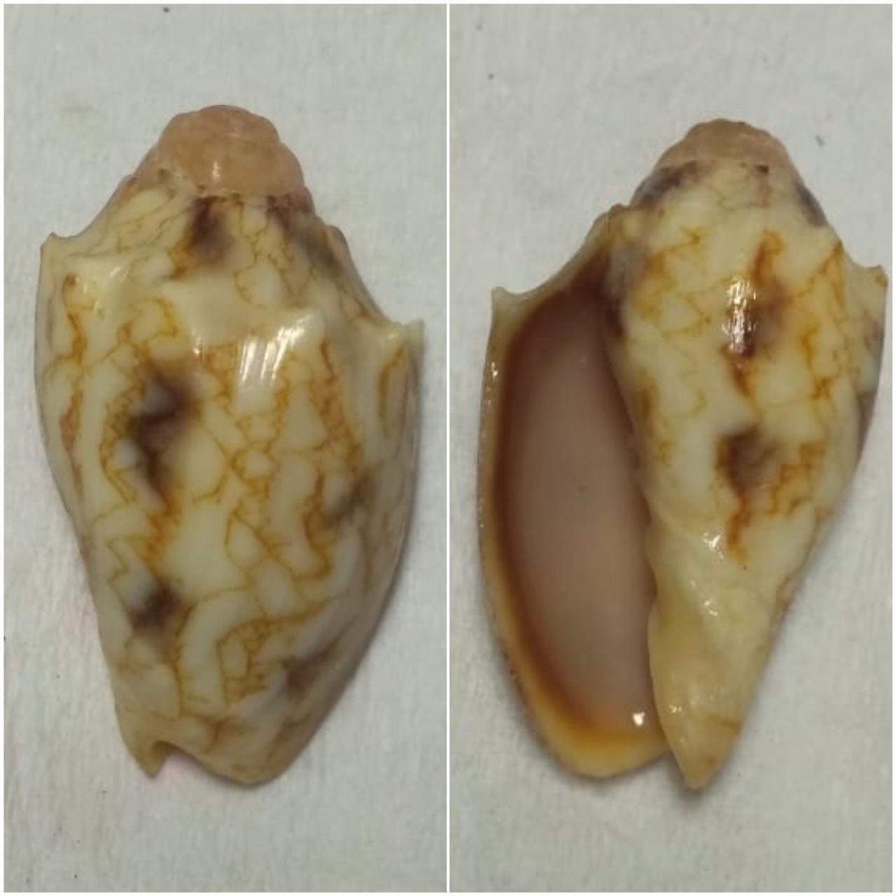 Cymbiola vespertilio (Linnaeus, 1758) 1