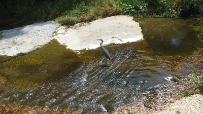Great Blue Heron in Arkansas