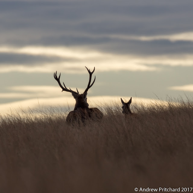 A stag and hind stroll through moorland grass silhouetted against the early sky.