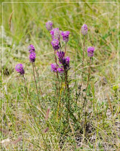 Purple Prairie Clover. Copyright © Purple Prairie-Clover. Copyright © Shelley Banks, all rights reserved. Banks, all rights reserved.