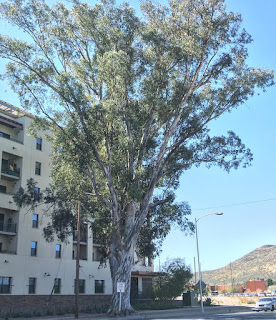 A very large tree called Phina's tree towering over a 6 story building.