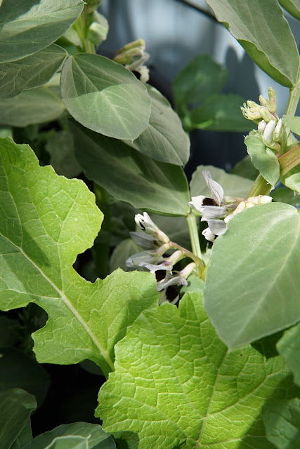 Broad bean flowers - a stubborn optimist blog - Carrie Gault 2020
