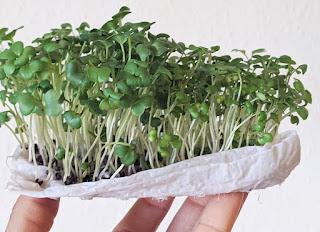Cara menanam Mikrogreen dengan tisu