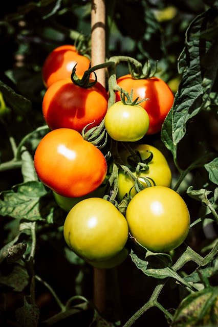 fresh tomatoes growing on a tomato plant