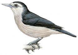 Sturnornis albofrontatus