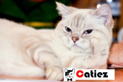 ragamuffin cat - all you want to know about ragamuffin cats
