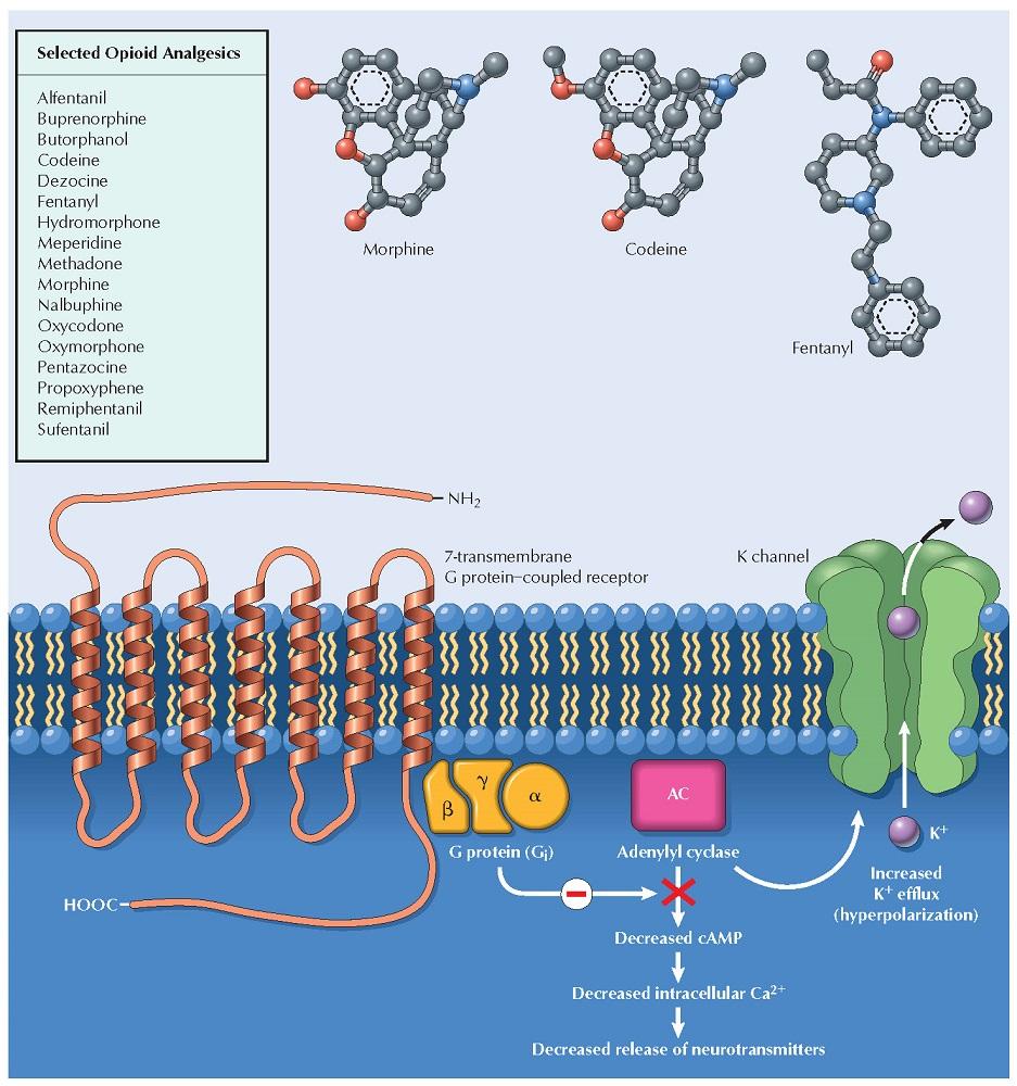 Opioids: Receptor-Transduction Mechanisms