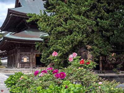 Byakusin (Juniperus chinensis) trees and Botan (Paeonia suffruticosa) flowers: Kencho-ji