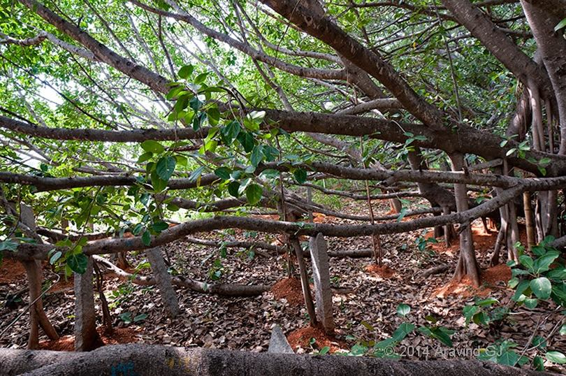 Thimmamma Marrimanu still continues to grow and expand, favored by being situated in an environment of agricultural fields with little tree competition around it. Reason for  which it has come to have such an impressive extension, with about 4,000 roots-trunk that twist up and down in all directions.