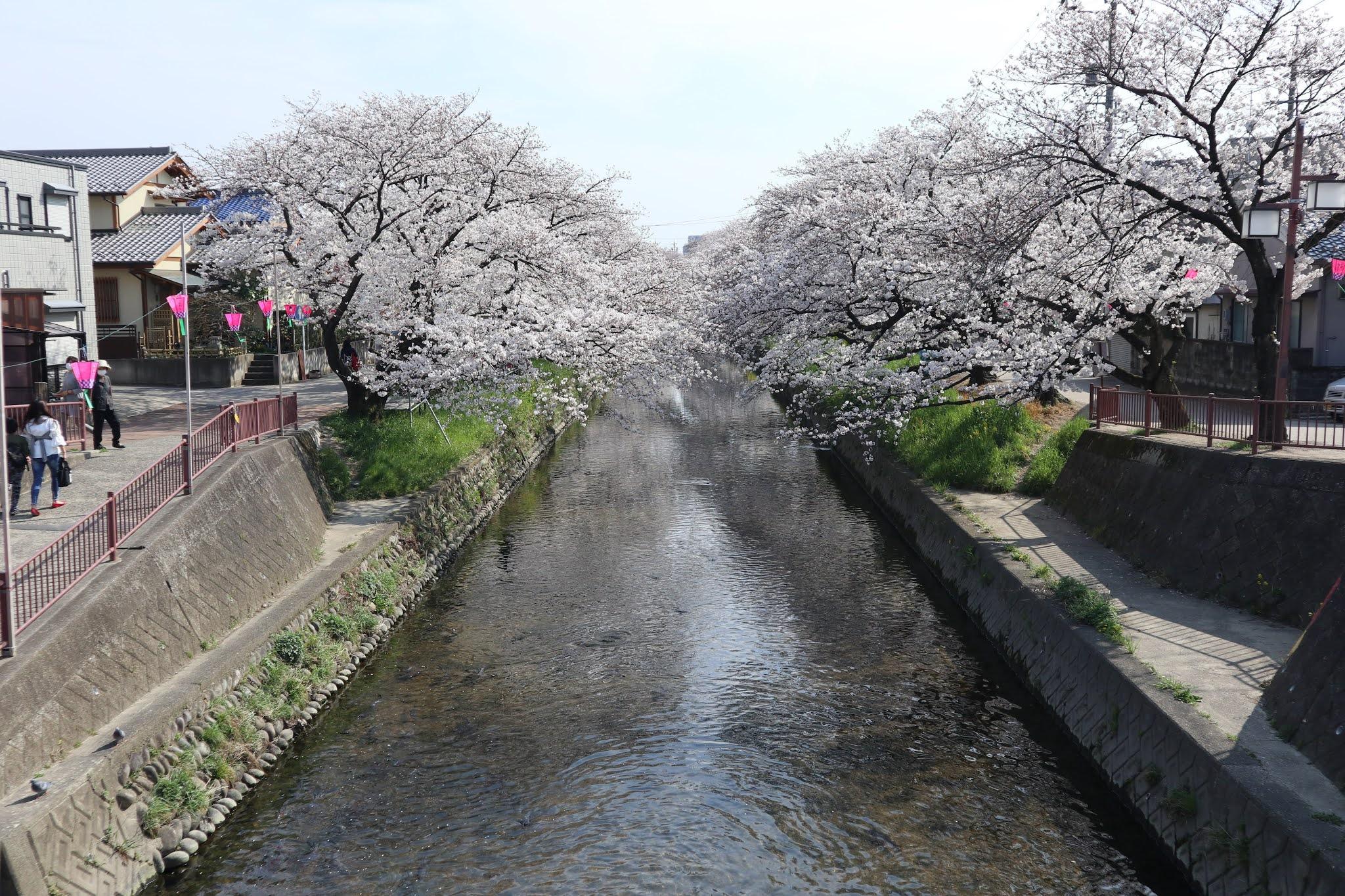 岩倉桜まつり3