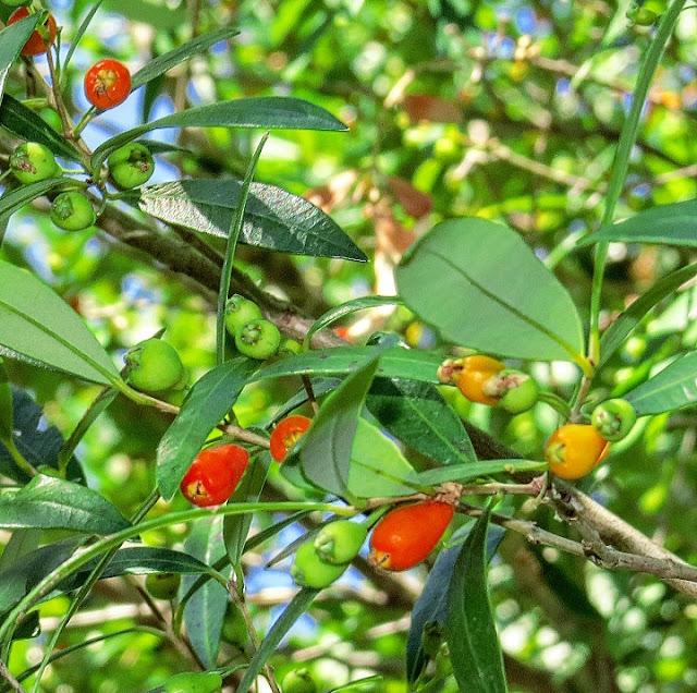 Myrceugenia glaucescens hojas y frutos