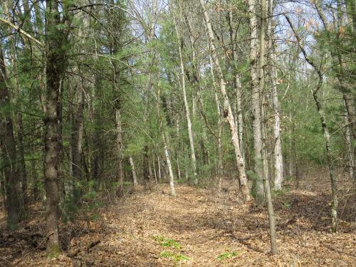 trail through white pines