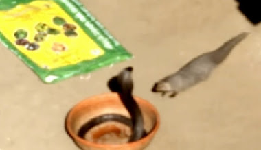 Garangan vs ular kobra hitam