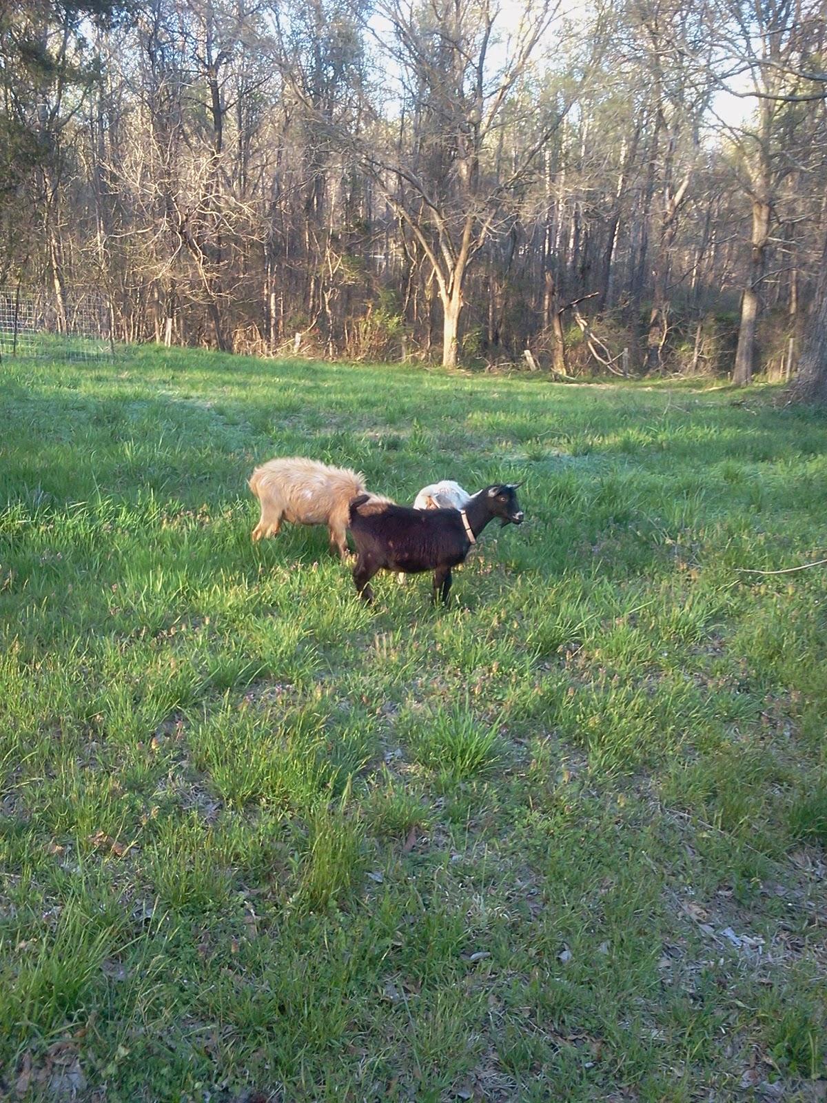 a03bcd4fd The Crafty Farmstead  Meet Our Nigerian Dwarf Goats