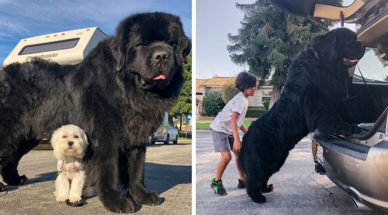Giant Newfoundland dogs and their young owners travel the country