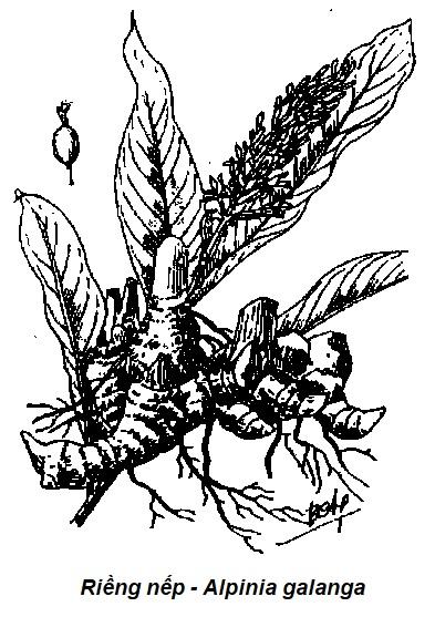 Hình vẽ Riềng nếp - Alpinia galanga - Nguyên liệu làm thuốc Chữa Bệnh Tiêu Hóa