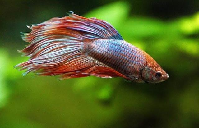 Gambar Ikan Cupang Veiltail