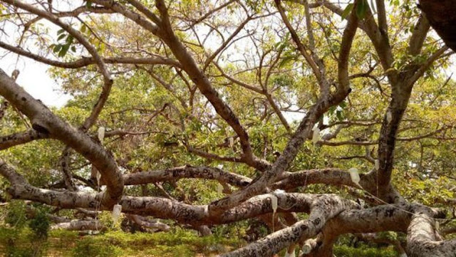 Menguak Misteri Pohon Beringin yang Sering Dianggap Angker dan Mistis