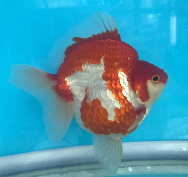 GoldfishArtQuatics