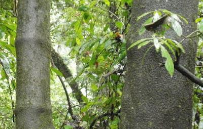Lata de pobre (Piper tucumanum)