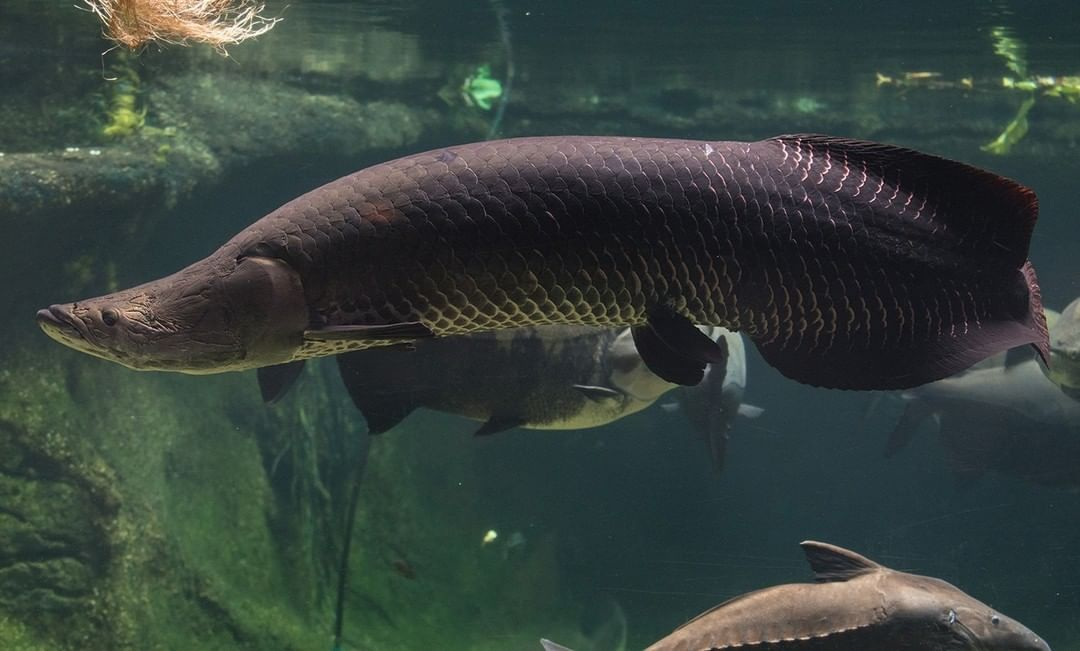 Asal Usul Ikan Arapaima