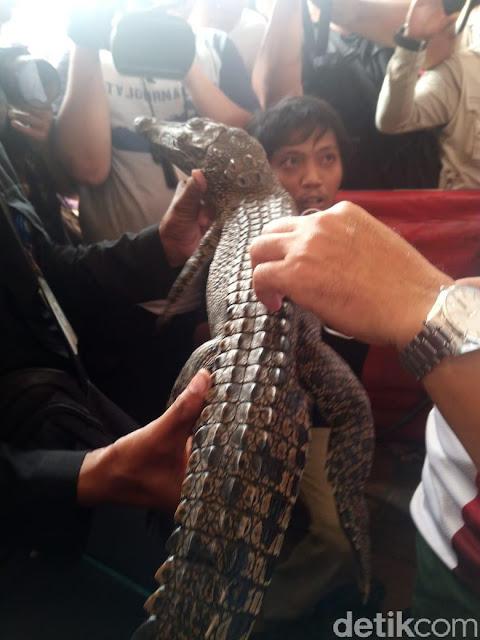 Buaya yang Bikin Heboh di Jakarta Ditangkap!