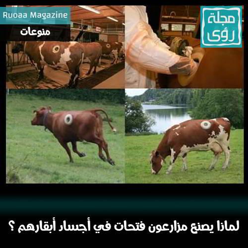 لماذا يصنع مزارعون غربيون فتحاتٍ دائمة في بطون أبقارهم ؟