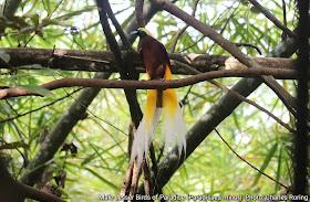 Male Lesser Birds of Paradise Bird in Susnguakti forest of Manokwari