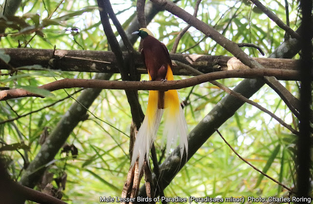 Male Lesser Birds of Paradise Bird in Susnguakti forest of Manokwari