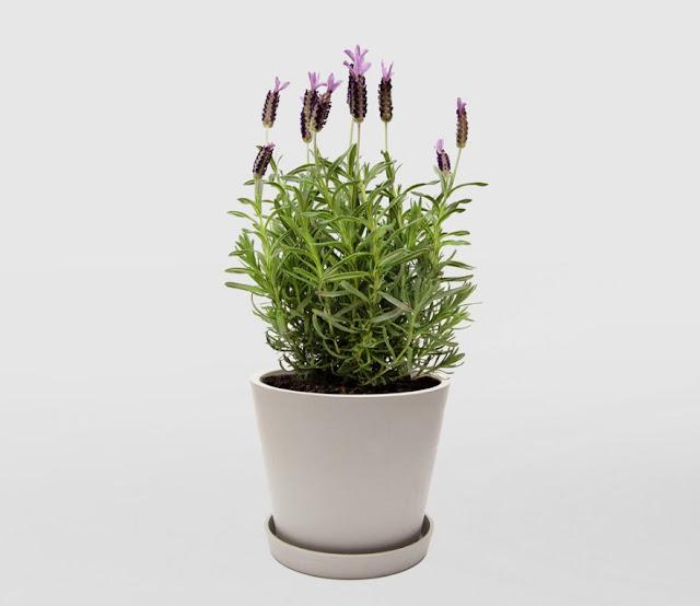 Lavender plant in ecopot Herb garden