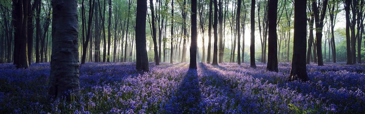 Melihat Keindahan Bunga Lonceng Surgawi :Bluebells - Flowers