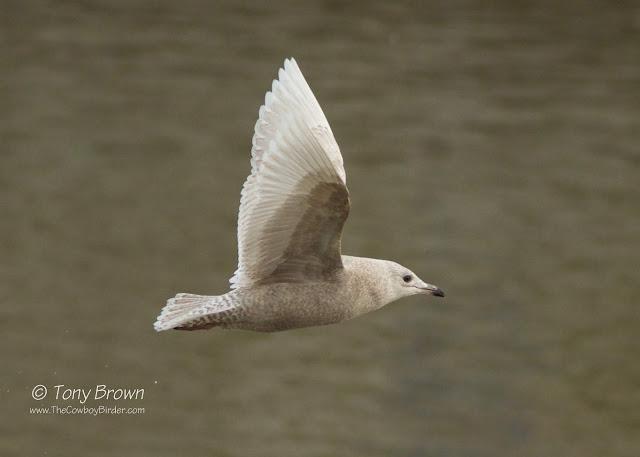 Juvenile, White-winger