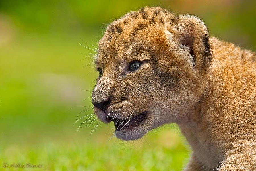 This is one of the three Lion cubs sisters born at Khao Kheow Open Zoo (Chonburi, Thailand)