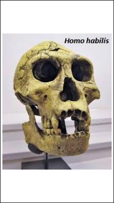 ETAPA 2 - Surgimiento del género Homo: Homo habilis y Homo rudolfensi