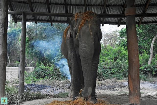Elefante encadenado en Parque Nacional de Bardia, Nepal